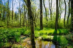 Alluvial forest biotope